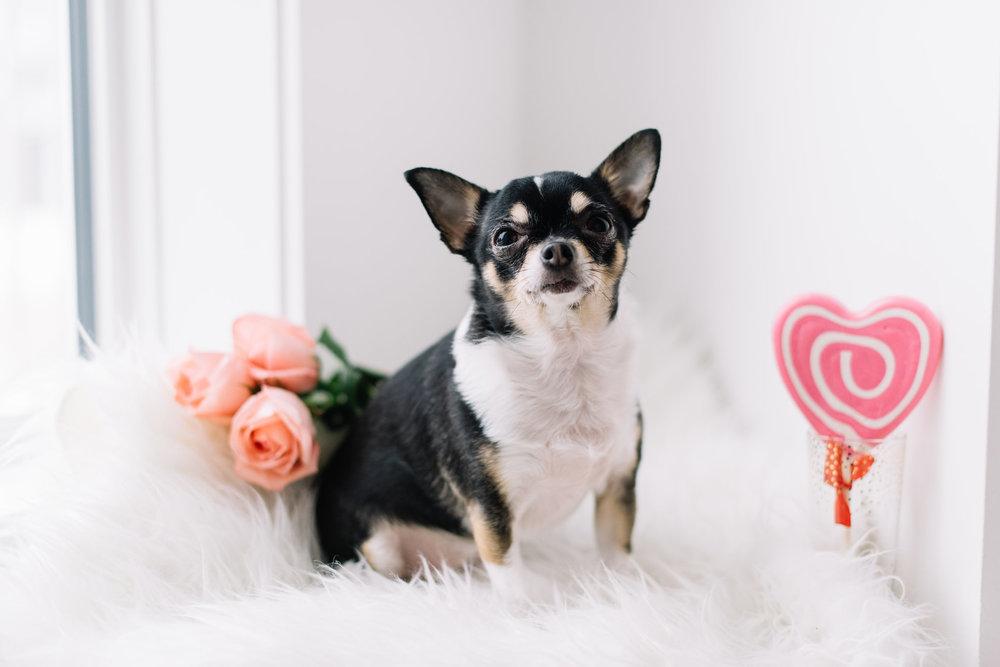 chihuahua Valentine's