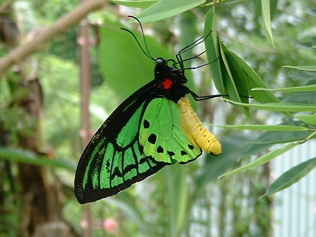 birdwing butterfly, Madang, Papua New Guinea, by Andy Bruner, 2001
