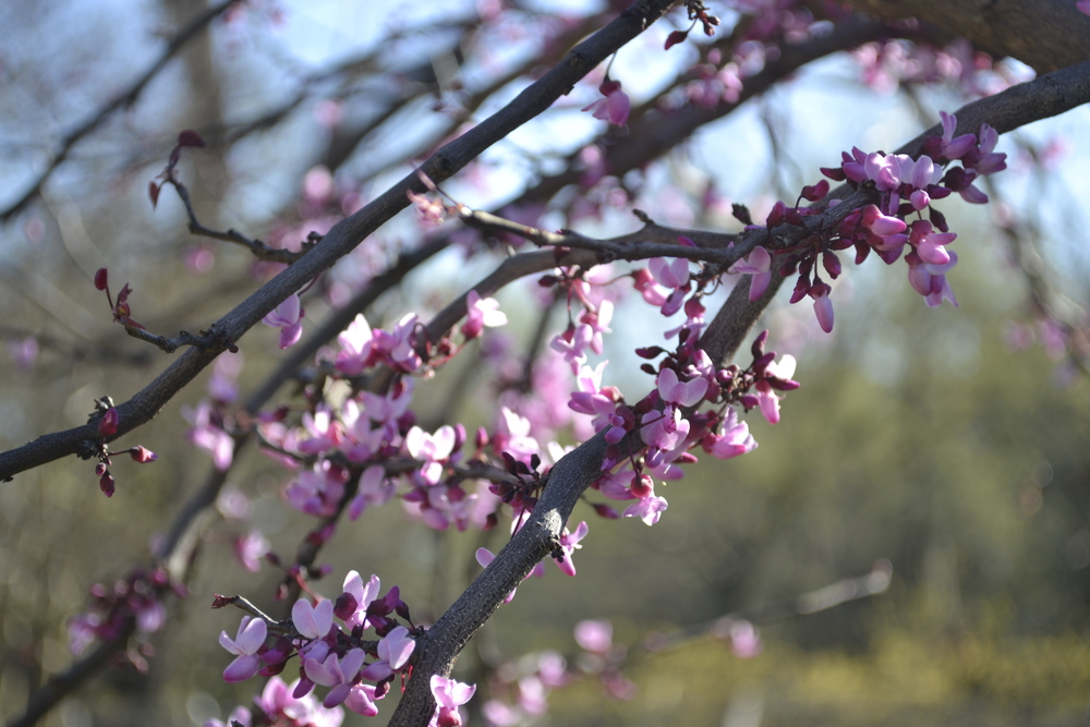 photo:  Oklahoma Redbud, Andy Bruner