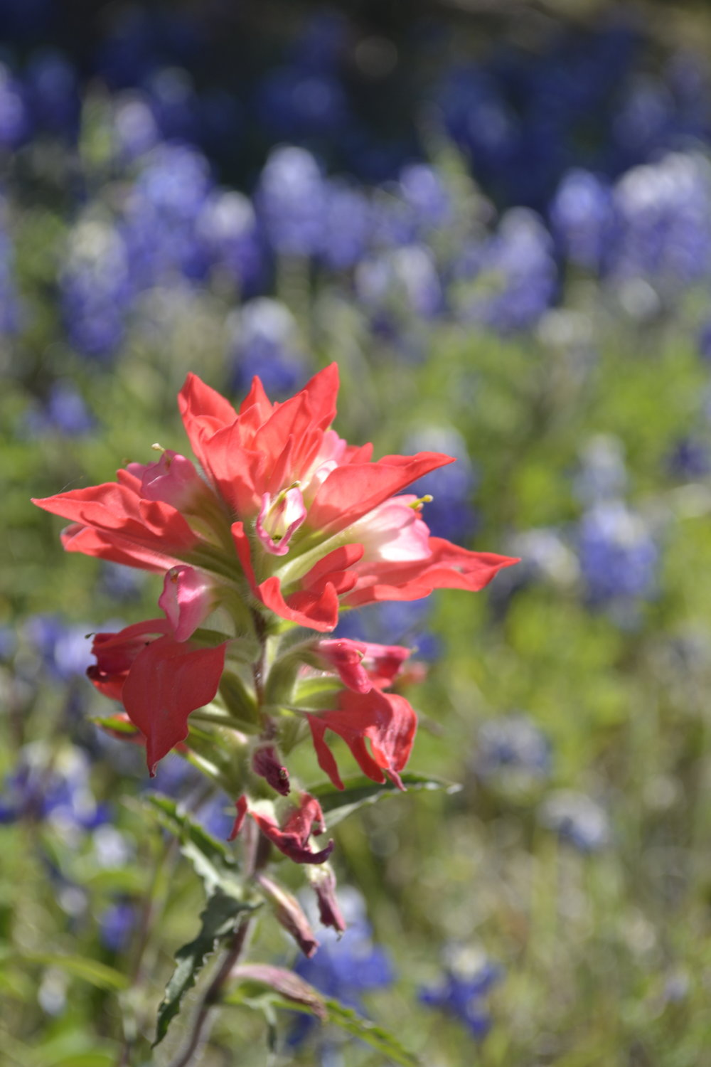 Indian paintbrush, photo: Andy Bruner