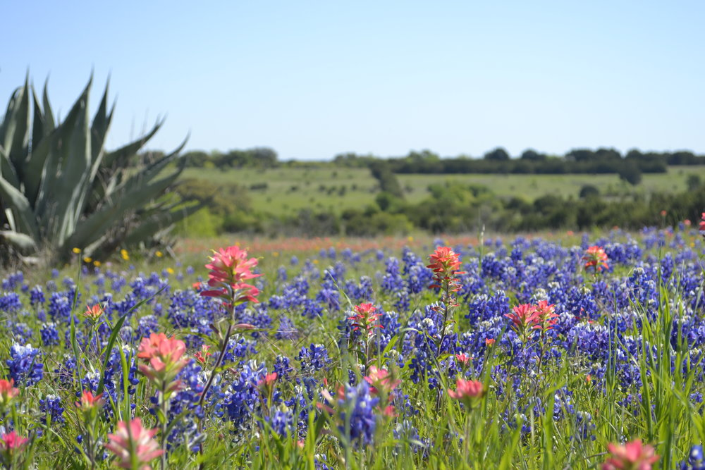 Wildflowers near Granbury, Texas, photo: Andy Bruner