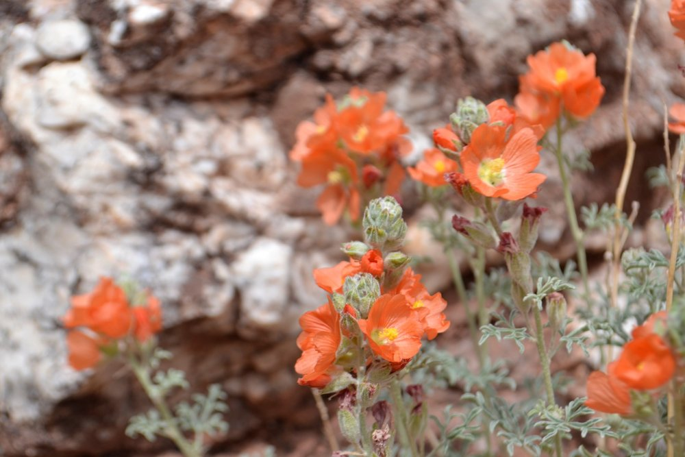 Utah wildflowers, photo: Andy Bruner