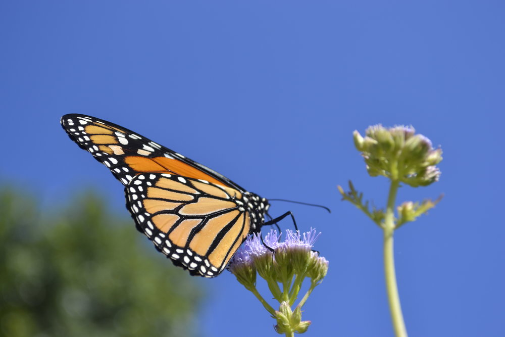 Monarch Butterfly, Fort Worth Botanic Garden, photo: Andy Bruner