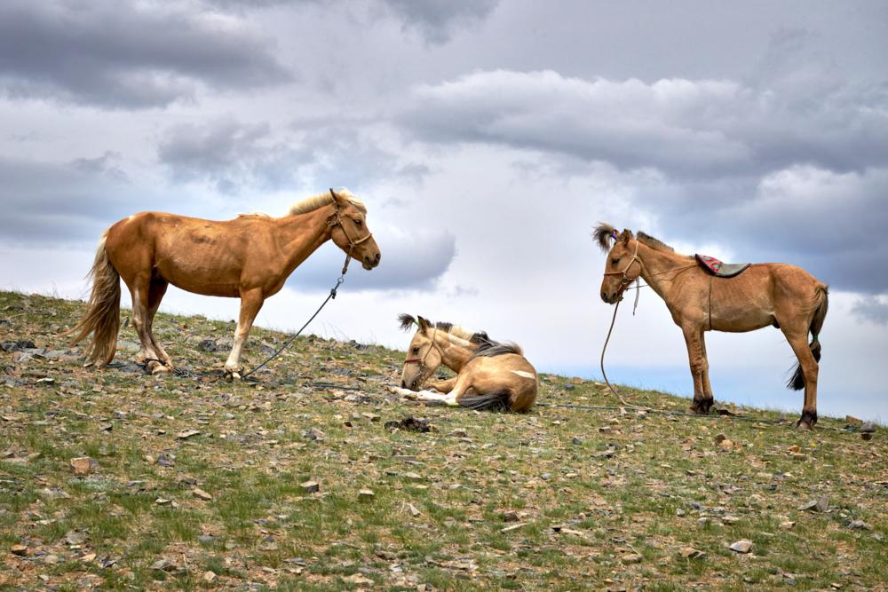 Khasar_S_YoungColtsAtNaadam_Ulgii_Mongolia_Summer_2015.png