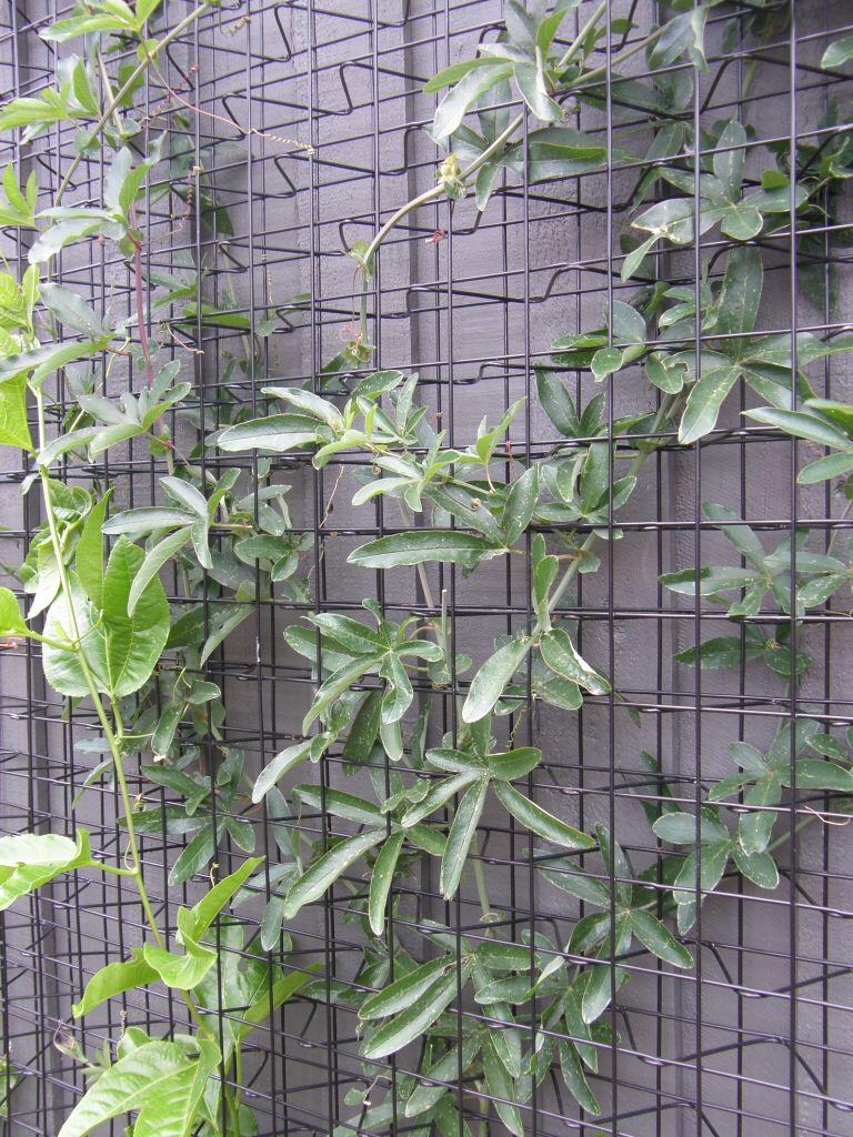 Archbar with Passiflora sp.