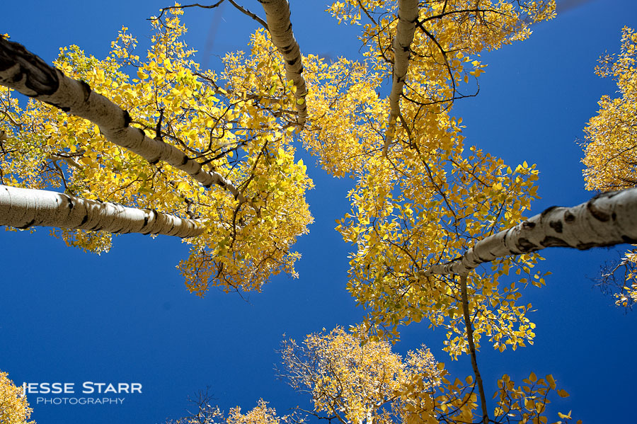 Aspen trees changing colors near Mt. Evans in Colorado