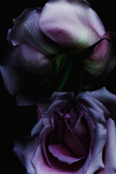 Rose_9389_48x72.jpg