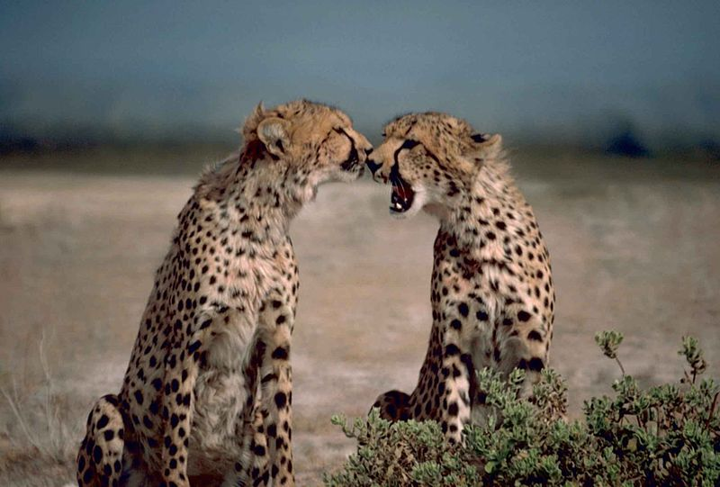 800px-Two_cheetahs_African_animals_acinonyx_jubatus_facing_each_other.jpg