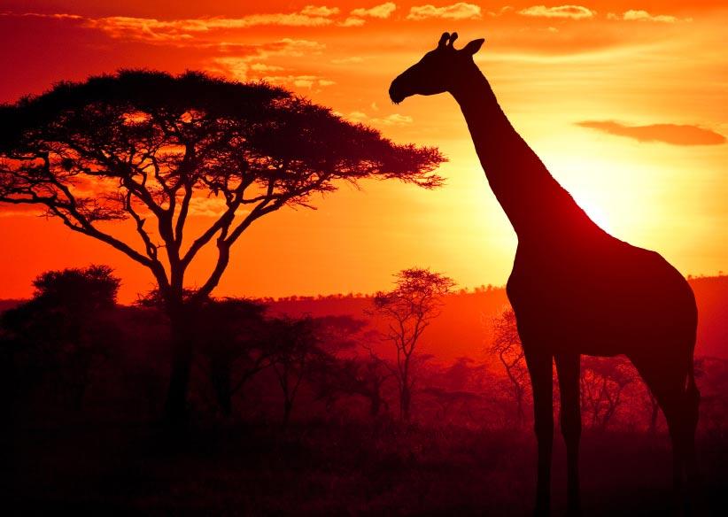 Girafe Africa