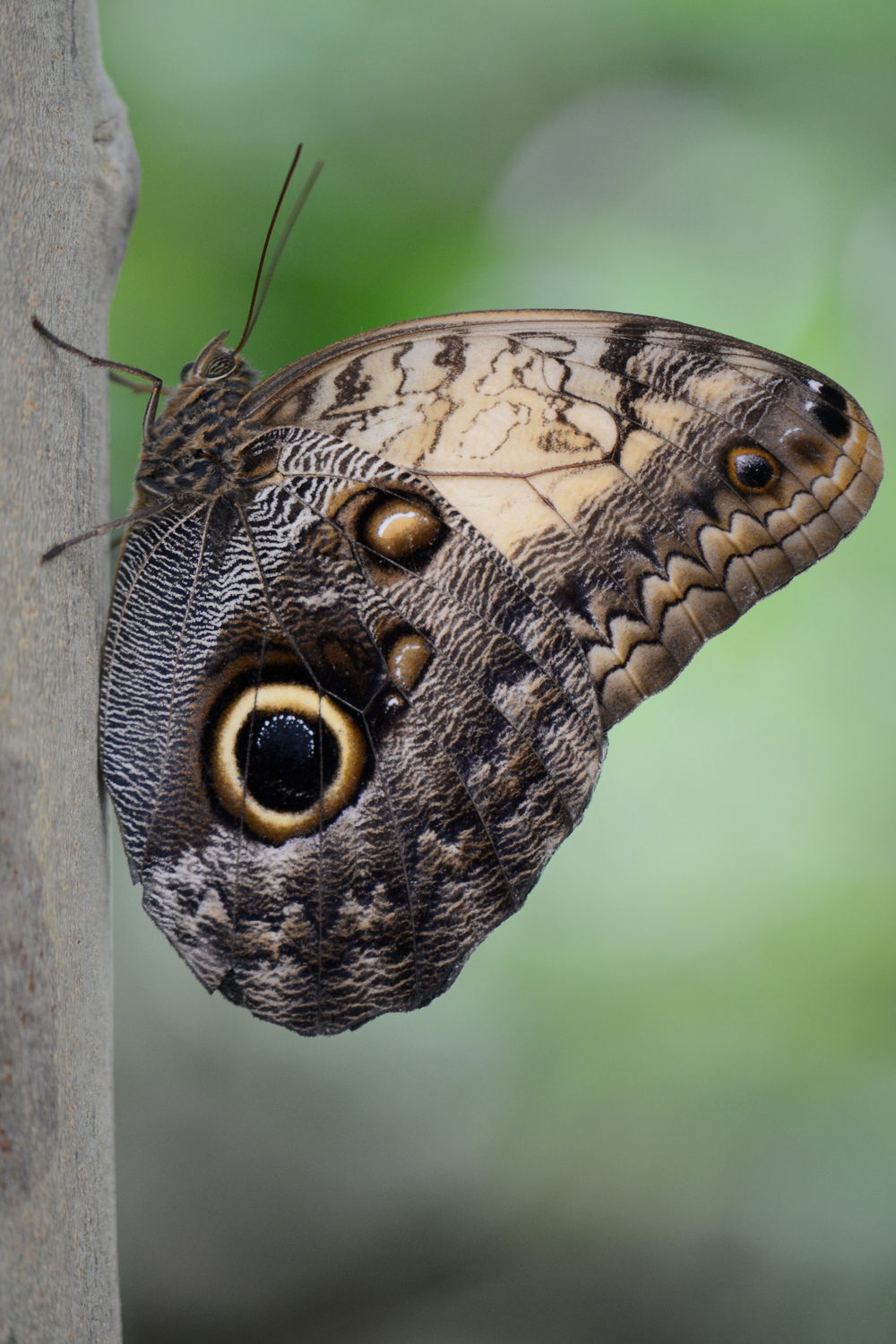 Owl butterflies have eye-like markings on their wings to deter predators.  Our eyebrows may serve a similar function.  Image credit: Böhringer Friedrich