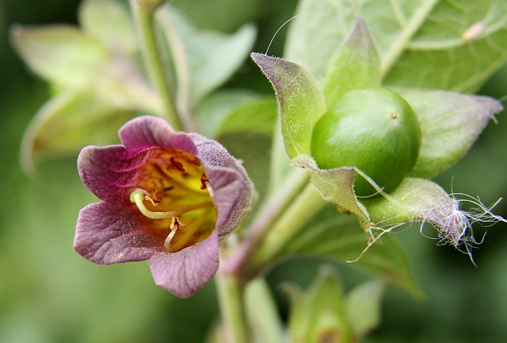 Atropa Belladonna, also known as deadly nightshade.  Image credit: Donald Macauley