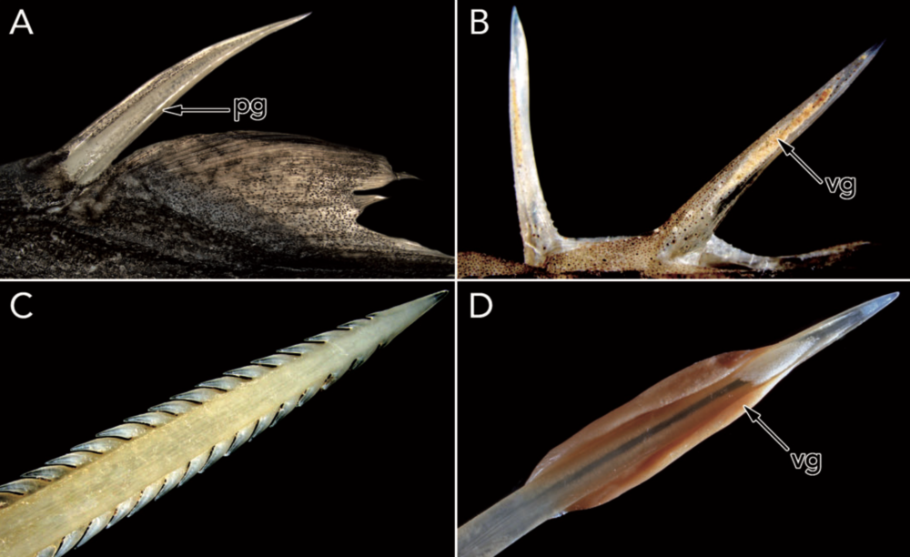 Evolution of Venom in Fishes - 23. Smith, W.L., Stern, J.H., Girard, M.G., and Davis, M.P. (2016). Evolution of Venomous Cartilaginous and Ray-Finned Fishes. Integrative and Comparative Biology. doi: 10.1093/icb/icw070Google Scholar