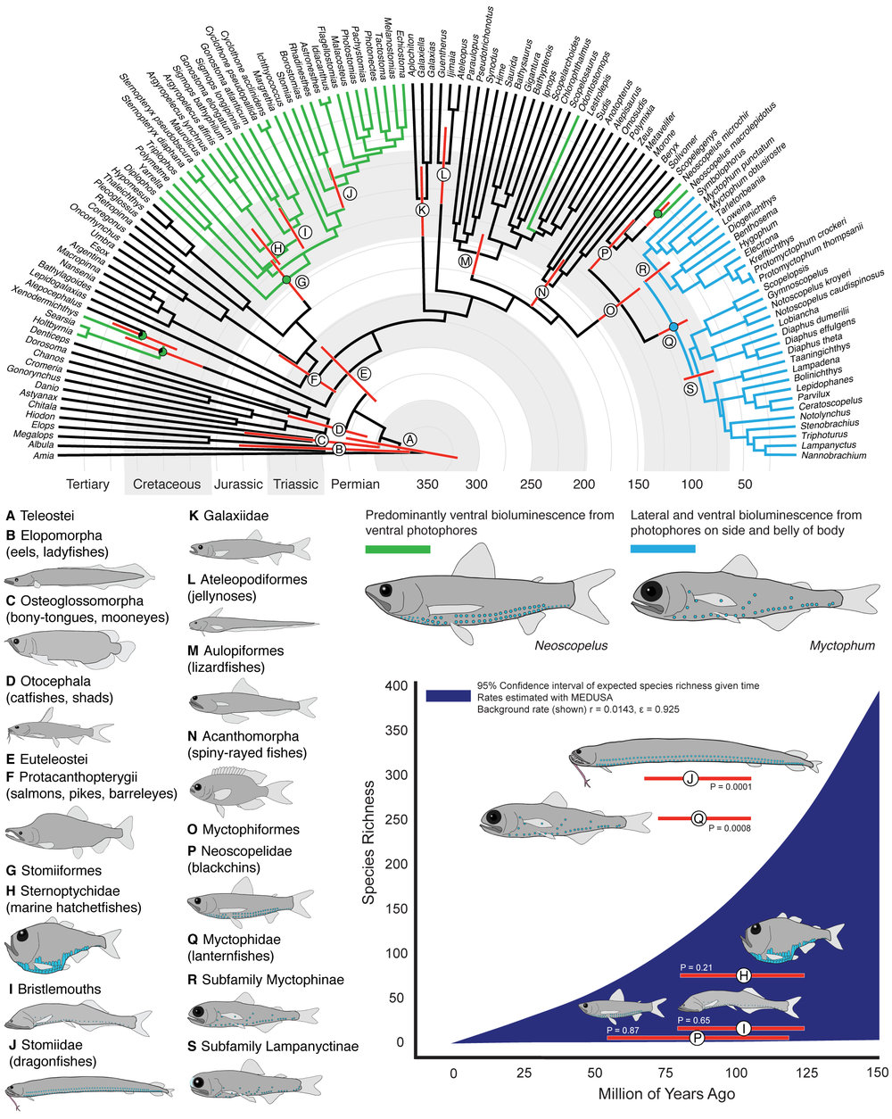 Bioluminescence impacts Diversification in Deep-sea Fishes - 18.    Davis, M.P., Holcroft, N.I., Wiley, E.O., Sparks, J.S., and Smith, W.L. (2014). Species-Specific Bioluminescence Facilitates Speciation in the Deep Sea. Marine Biology. DOI: 10.1007/s00227-014-2406-x.Google Scholar