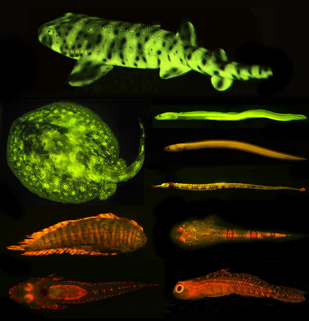 Survey and Discovery of Biofluorescence across Fishes - 17.     Sparks, J.S., Schelly, R.C., Smith, W.L., Davis, M.P., Tchernov, D., Pieribone, V., and Gruber, D.F. (2014). The Covert World of Fish Biofluorescence: A Phylogenetically Widespread and Phenotypically Variable Phenomenon. PLOS ONE. 9(1): e83259.Google Scholar