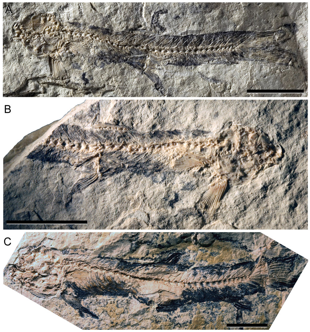 First Fossil Shellear and Divergence of Milkfishes and their allies - 15. Davis, M.P., Arratia, G.A., and Kaiser, T. (2013). The first fossil shellear and its implications for the evolution and divergence of the Kneriidae (Teleostei: Gonorynchiformes). In: Arratia, G.A., Schultze, H.P., and Wilson, M.V.H. (Eds.), Mesozoic Fishes V. München (Verlag Dr. F. Pfeil). PP. 325-362.Google Scholar