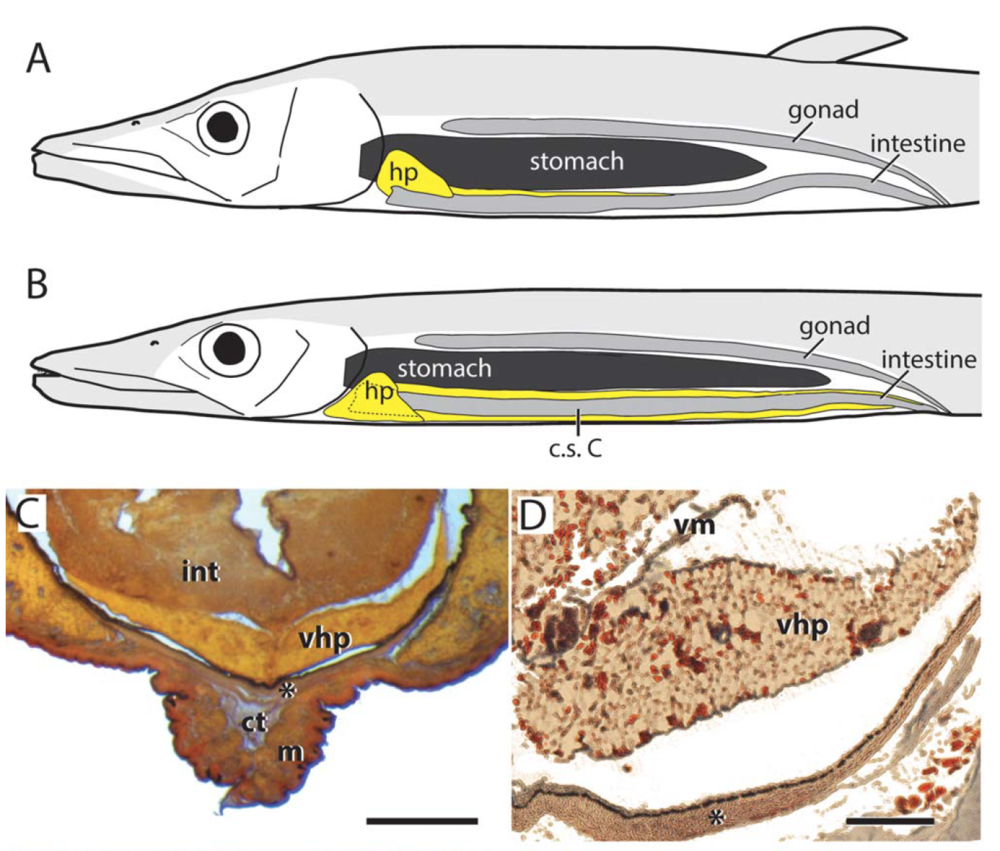 Bioluminescent Liver Tissue in Deep-sea Barracudinas - 19. Ghedotti, M.J., Barton, R.W., Simons, A.M., and Davis, M.P. (2015). The First Report of Luminescent Liver Tissue in Fishes: Evolution and Structure of Bioluminescent Organs in the Deep-Sea Naked Barracudinas (Aulopiformes: Lestidiidae). Journal of Morphology. DOI: 10.1002/jmor.20341Google Scholar