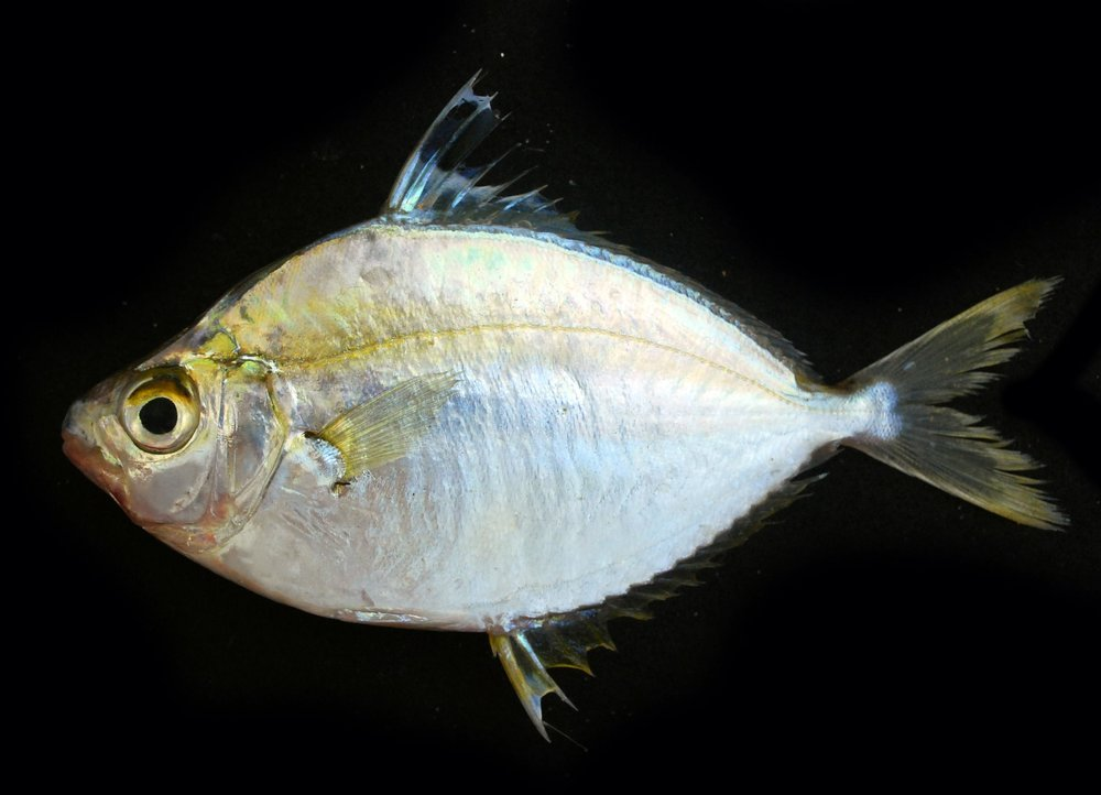 Evolution and Diversification of Ponyfishes - 08. Chakrabarty, P., Davis, M.P., Smith, W.L., Baldwin, Z., and Sparks, J.S. (2011). Is sexual selection driving diversification of the bioluminescent ponyfishes (Teleostei: Leiognathidae)? Molecular Ecology. (20) 13: 2818-2834.Google Scholar