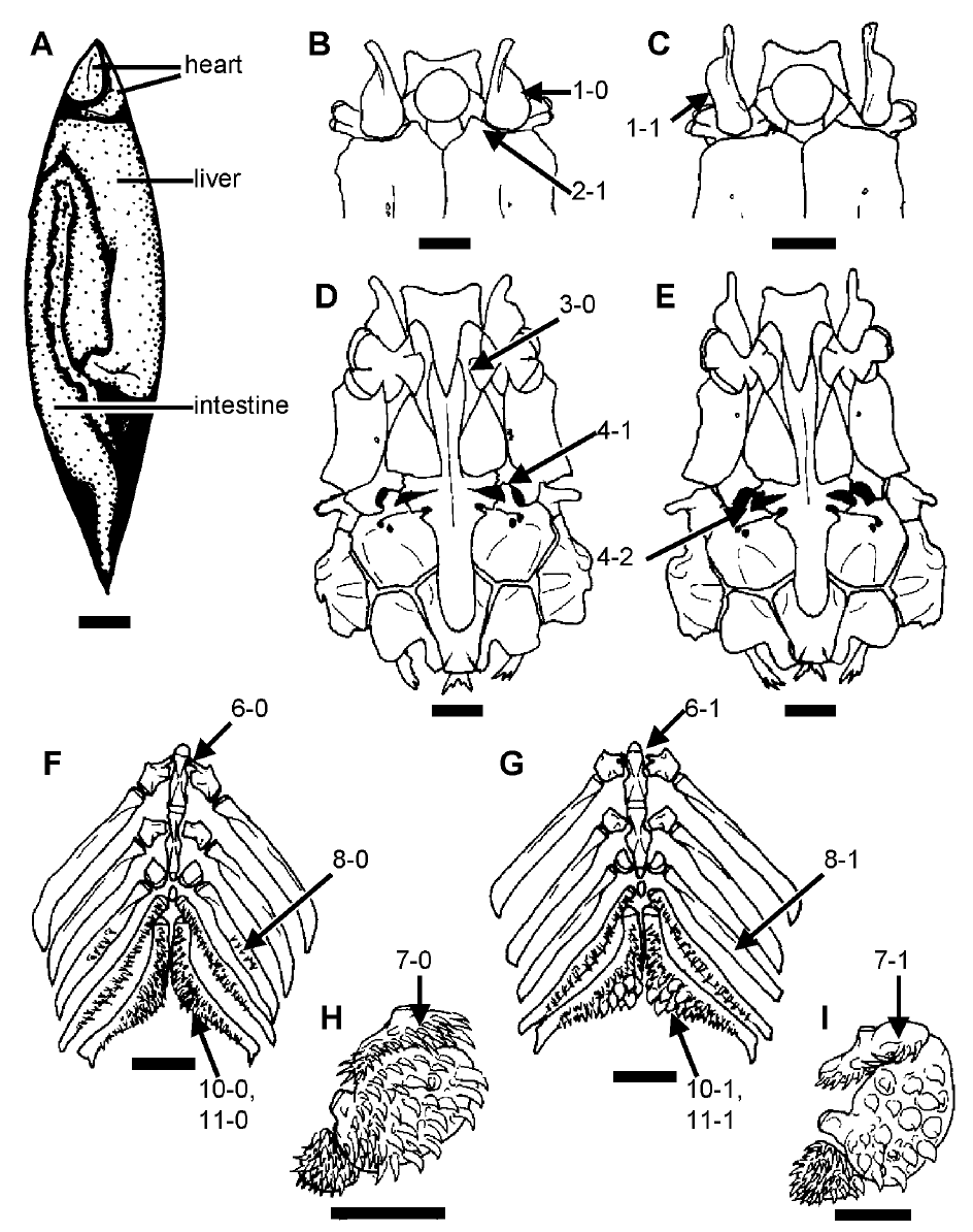 Morphology and Systematics of the Studfishes - 01.    Ghedotti, M.J., A.M. Simons, & M.P. Davis. (2004). Morphology and phylogeny of the studfish clade, subgenus Xenisma (Teleostei: Cyprinodontiformes). Copeia (1):53-61.Google Scholar
