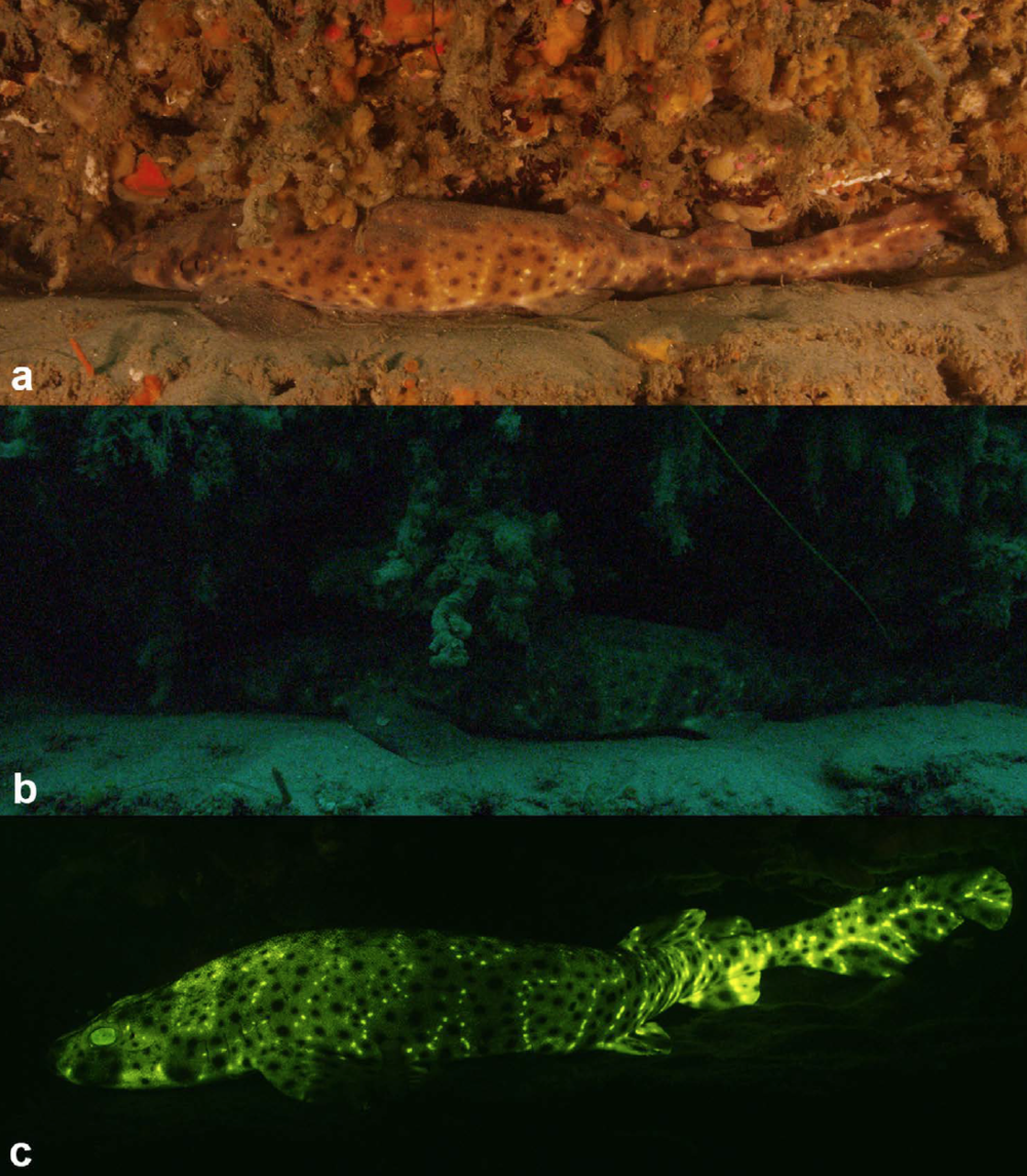Visualization of Biofluorescence in Sharks - 21. Gruber, D.F., Loew, E.R., Deheyn, D.D., Akkaynak, D., Gaffney, J.P., Smith, W.L., Davis, M.P., Stern, J.H., Pieribone, V.A., and Sparks, J.S. (2016). Biofluorescence in Catsharks (Scyliorhinidae): Fundamental Description and Relevance for Elasmobranch Visual Ecology. Scientific Reports. 6, 24751; doi: 10.1038/srep24751Google Scholar