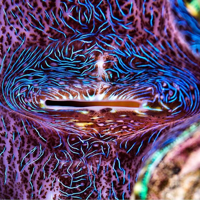 What a mesmerizing macro shot by @jemcresswell of a giant clam (Tridacna gigas)! Did you know that because the adductor muscle of these magnificent clams are considered a delicacy they have been over-harvested and are now considered vulnerable to extinction?  #saveourseas #ocean #clam #giantclam #protectehatyoulove #nature #amazing #psychadelic