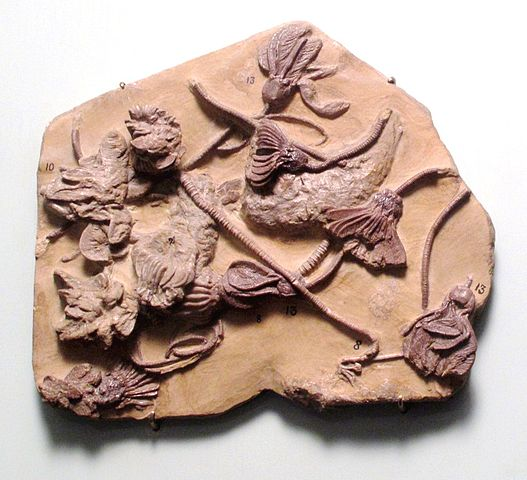 Crinoid fossils from the early Carboniferous. Found in Iowa.