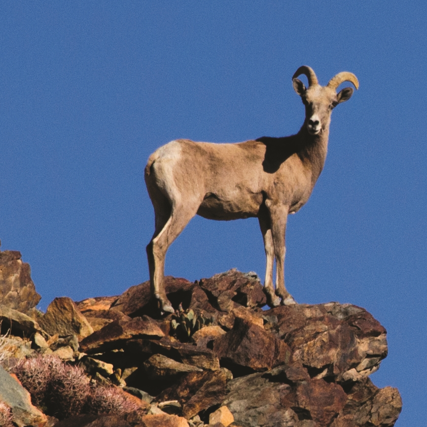 $20/month adopts a bighorn sheep