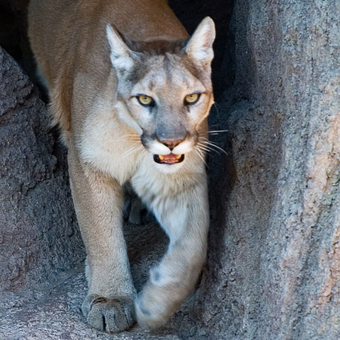 $30/month adopts a mountain lion