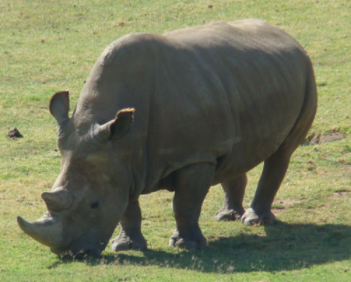 As of late July 2015, only four northern white rhinos remain on Earth. The species is near extinction as a result of poaching and civil wars in the rhinos' native habitats.