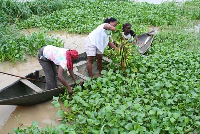 harvesting-invasive-water-hyacinth-nigeria.jpg.650x0_q70_crop-smart-2.jpg
