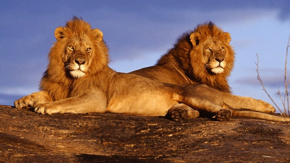 african-lions.jpg