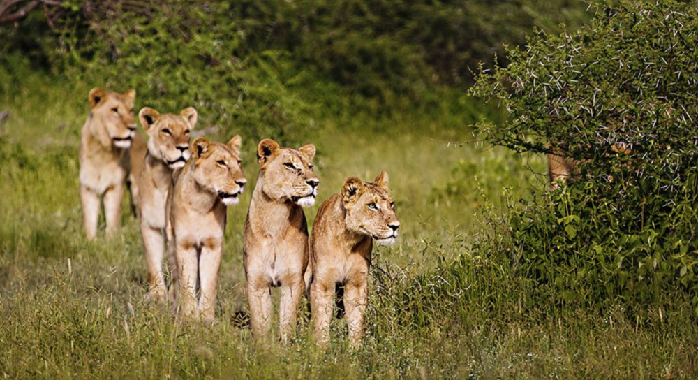 lionesses-hunting.png