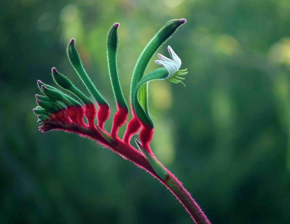 Aurora Migration Consulting WA flowers-kangaroo-paw-231785.jpg