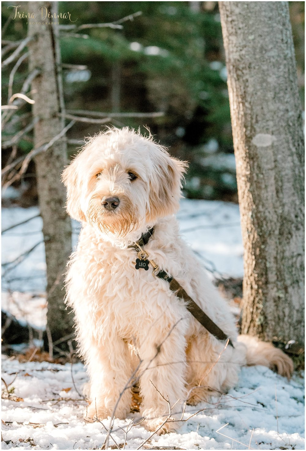 Leo Goldendoodle Puppy