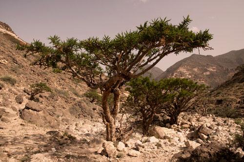 Frankincense Treein Dhofar mountain, Oman