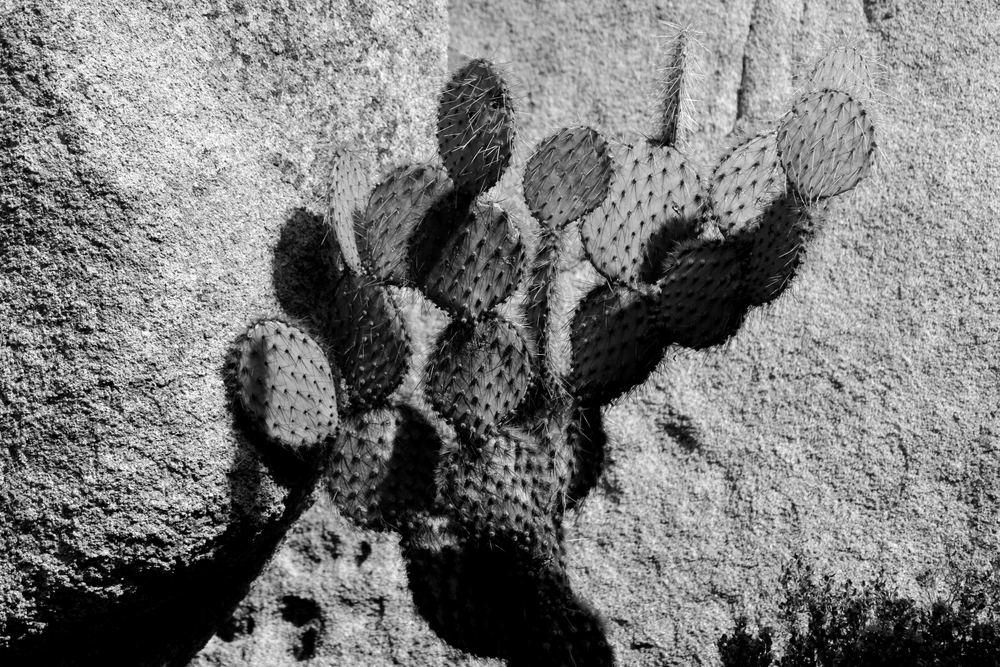 cactus joshua tree california.jpg