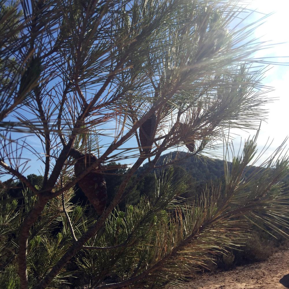 ibiza-pine-trees.jpg
