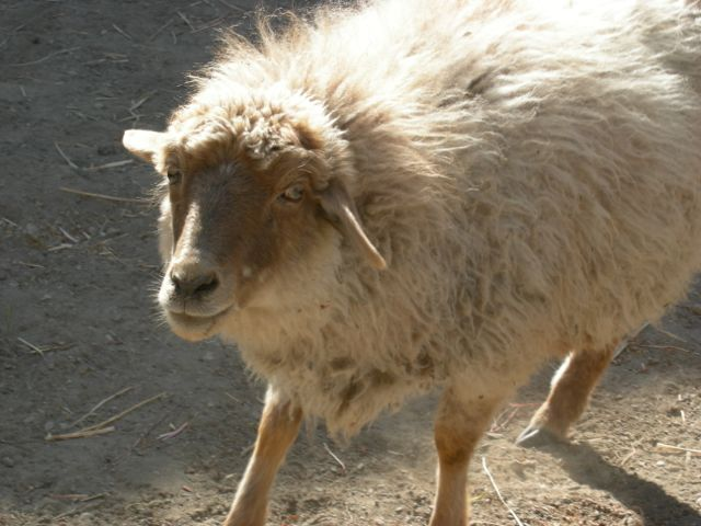 Skurbuchan sheep