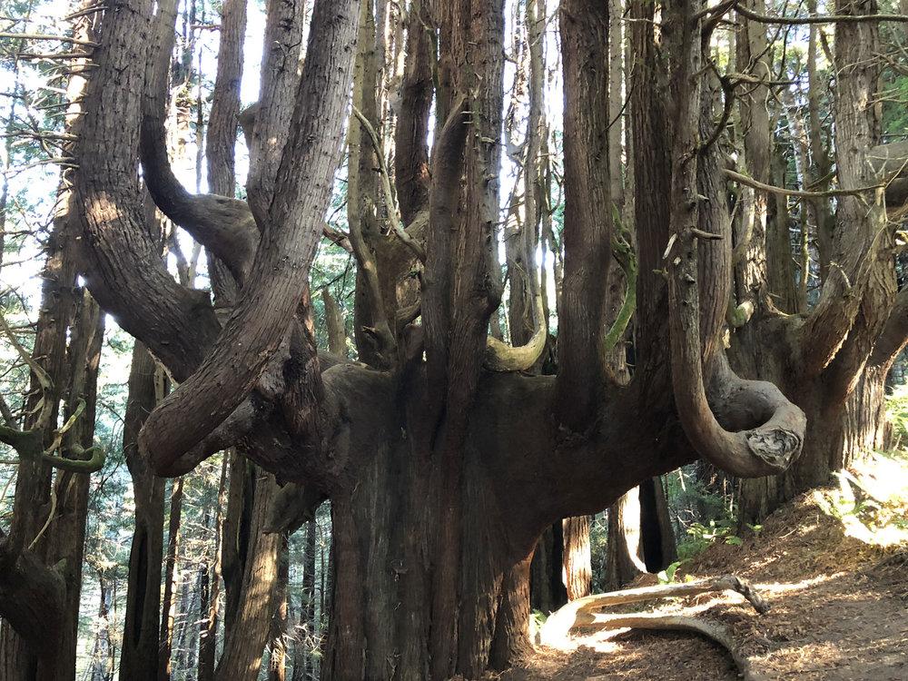 Usal's Candelabra Trees, Lost Coast