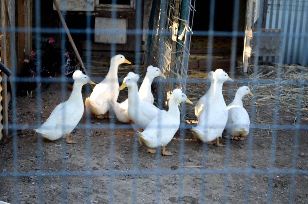One student's SAE involves raising ducks.