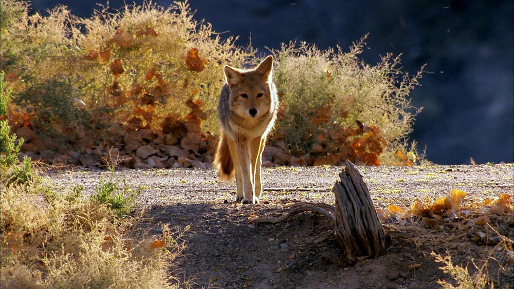 Coyote_01.jpg
