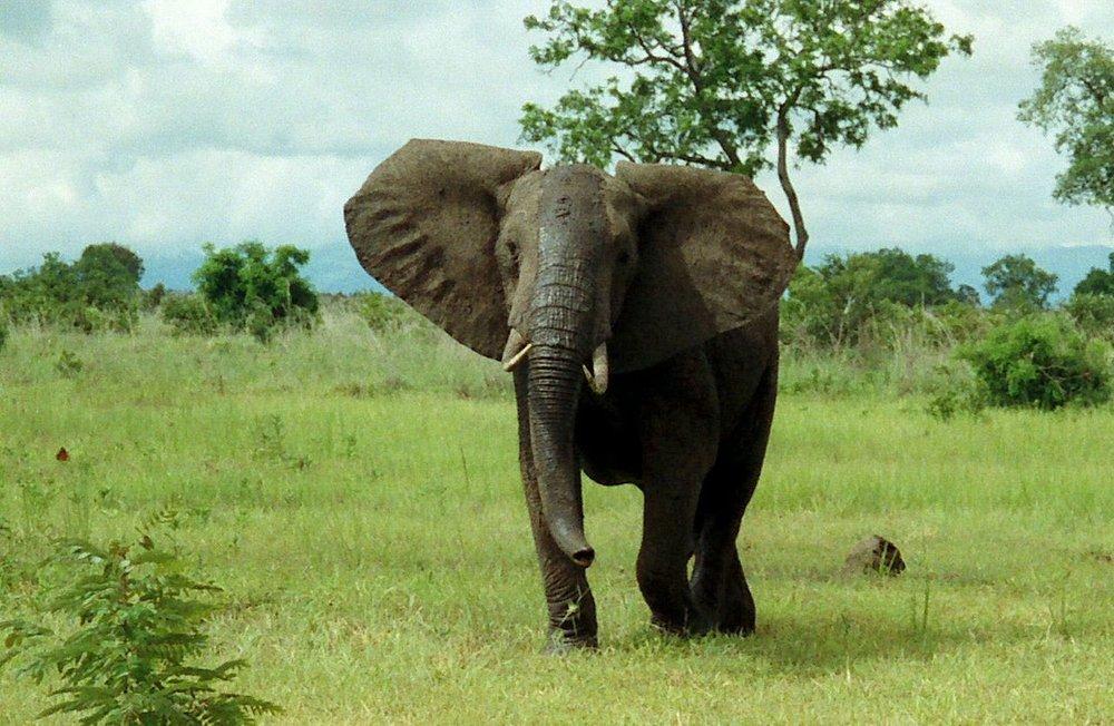 1280px-African_Bush_Elephant_Mikumi.jpg