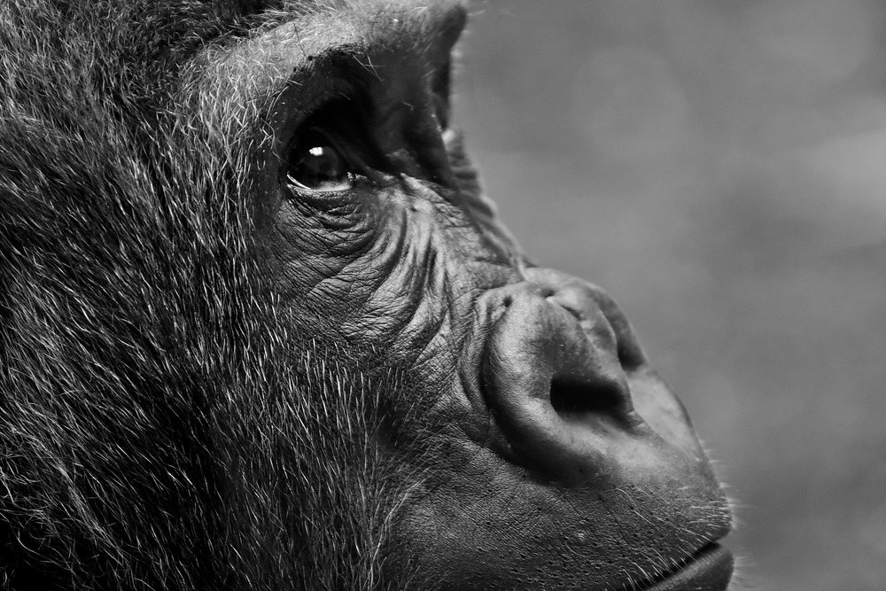 gorilla-2876068_1920-1.jpg
