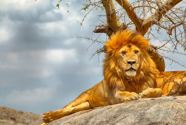 male-lion-sitting-on-rock-Serengeti-national-park.jpg