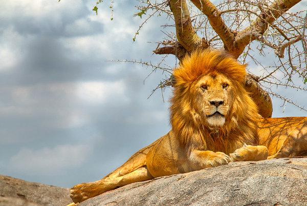 male-lion-sitting-on-rock-Serengeti-national-park.jpg