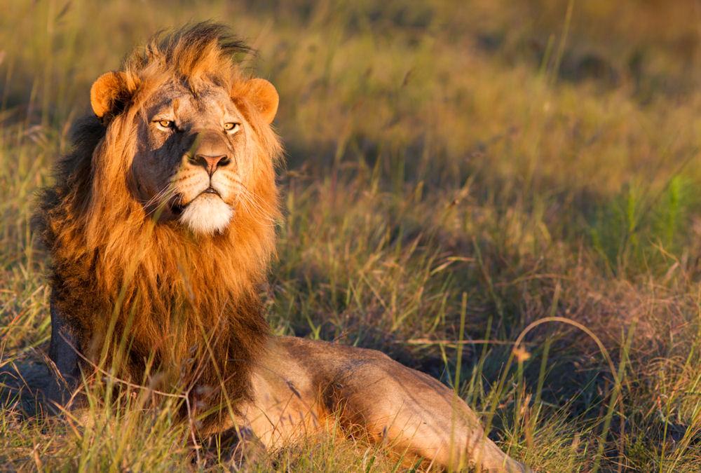 Lion-Uganda_TS_102413.jpg