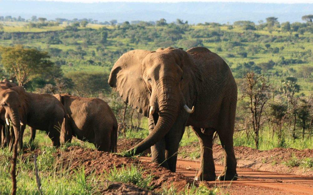 murchison-falls-elephants.jpg