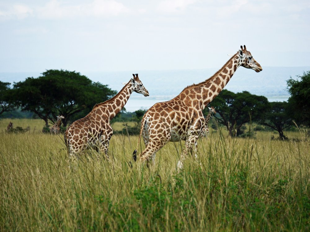 Rothschilds-giraffes-at-Murchison-Falls-National-Park-in-Uganda.jpg
