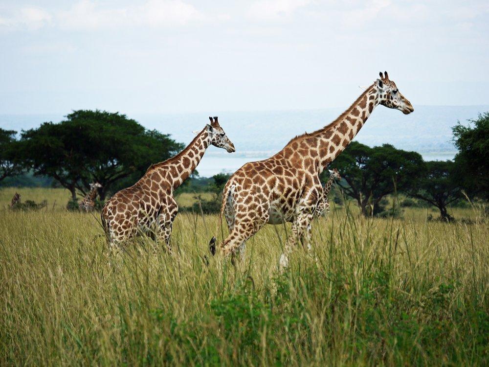 Rothschilds-giraffes-at-Murchison-Falls-National-Park-in-Uganda.jpg