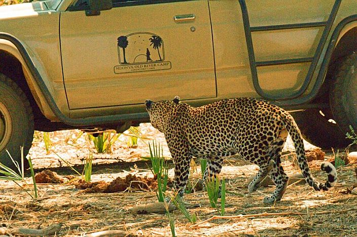Mdonya-Old-River-Camp-Game-drive-leopard-700.jpg