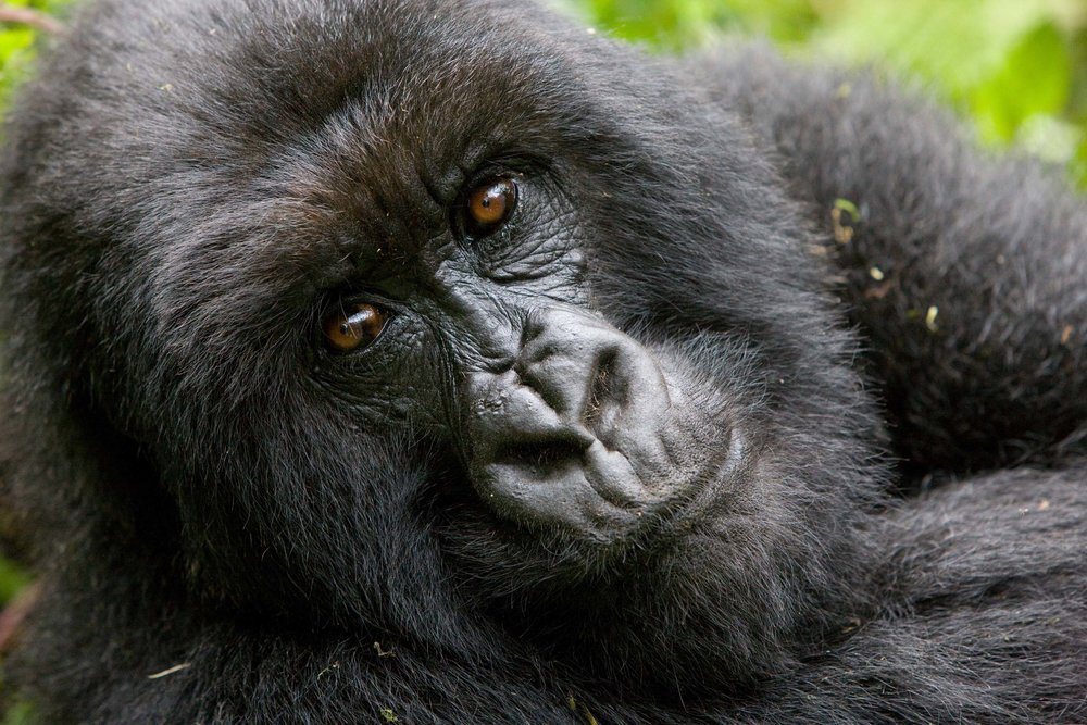 Gorilla-face.jpg